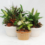 "Basketry Dish Gardens - 8"", 10"" & 12"""