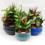 "Striped Dish Gardens - 8"", 10"" & 12"""