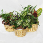 "Wicker Basket Gardens - 6"", 8"" & 10"""